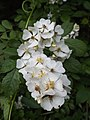 Multiflora Rose Flowers-2.JPG