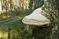 Mushrooms of Puszcza Zielonka (Trzaskowo) (2).JPG
