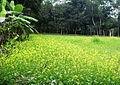 Mustard Plant Sandwip.jpg