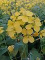 Mustard flower eve.jpg