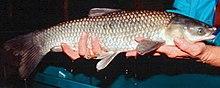 Чёрный амур, или китайская плотва - вид рыб семейства карповых...