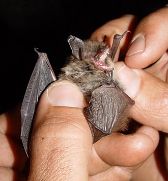Mouse-eared bat - Whiskered bat (Myotis mystacinus)