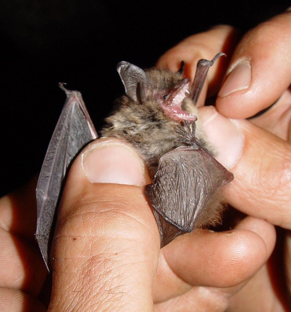 The average adult weight of a Whiskered bat is 3 grams (0.01 lbs)
