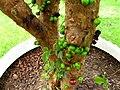 Myrciaria cauliflora 11.jpg