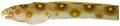 Myrichthys ocellatus - pone.0010676.g018.png