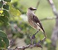 Myrmecocichla tholloni, Tembe, Birding Weto, a.jpg