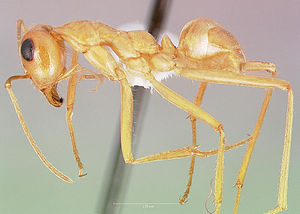 Präparierte Myrmecocystus mexicanus -Arbeiterin