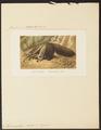 Myrmecophaga jubata - 1700-1880 - Print - Iconographia Zoologica - Special Collections University of Amsterdam - UBA01 IZ21000035.tif
