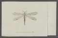 Myrmeleon - Print - Iconographia Zoologica - Special Collections University of Amsterdam - UBAINV0274 064 01 0002.tif
