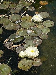 plante aquatique liste