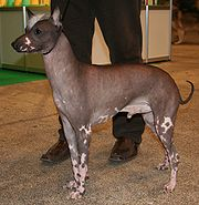 The posing of a Peruvian Hairless Dog