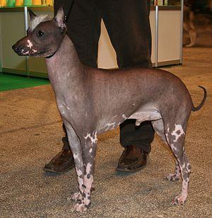 Peruvian Hairless Dog - Posing a Peruvian Hairless Dog