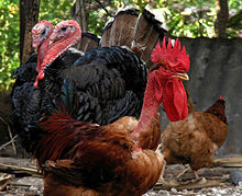Naked Neck rooster and Turkeys.jpg