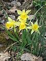 Narcissus pseudonarcissus004.jpg