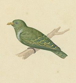 Naturalis Biodiversity Center - MMNAT01 AF NNM001000076 - Natuurkundige Commissie voor Nederlandsch-Indië - Bird species - Art by Oort, P. van (cropped).jpg