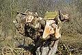 Naturschutzgebiet Haseder Busch - Gestutzte Weide mit Ansitz.jpg