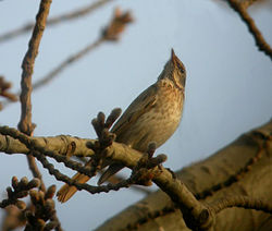Naumann's Thrush in Temple of Heaven.JPG