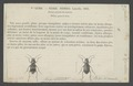 Nebria - Print - Iconographia Zoologica - Special Collections University of Amsterdam - UBAINV0274 009 05 0003.tif