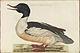 Nederlandsche vogelen (KB) - Mergus merganser (324b).jpg