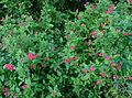 Nepeta x faassenii - automne Jardin des Plantes.JPG