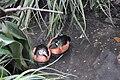 Nettapus auritus -Bronx Zoo-8.jpg