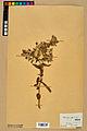 Neuchâtel Herbarium - Borago officinalis - NEU000020572.jpg