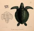 Neue Wirbelthiere zu der Fauna von Abyssinien gehörig (1835) Lepidochelys olivacea.png