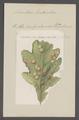 Neuroterus - Print - Iconographia Zoologica - Special Collections University of Amsterdam - UBAINV0274 047 03 0043.tif
