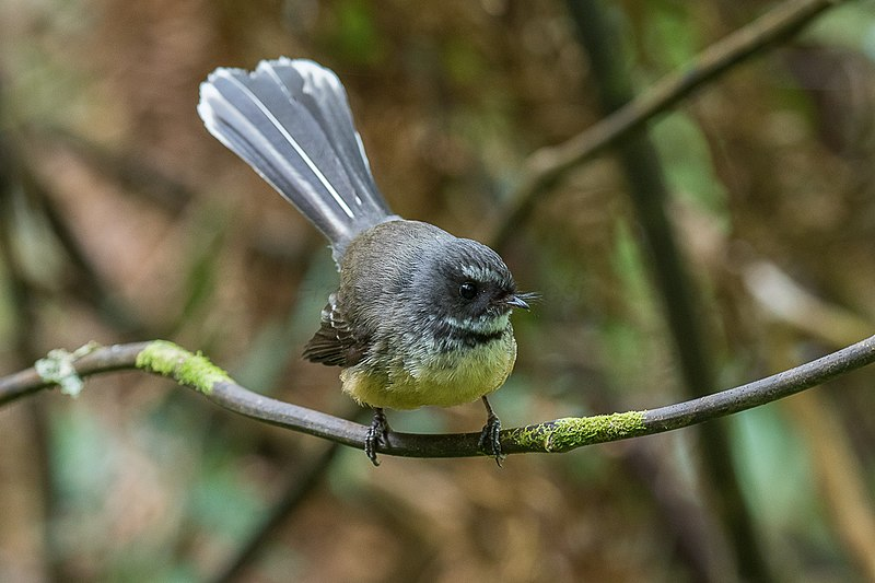 File:New Zealand Fantail - New Zealand 24420679467).jpg
