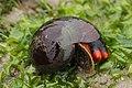 Norris's Top Snail - Norrisia norrisii (28567221017).jpg