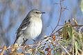 Northern Mockingbird (Mimus polyglottos).jpg