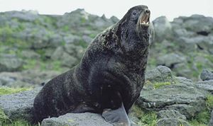 Northern fur seal - Northern fur seal bull, St Paul Island, 1992