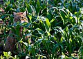 Not satisfied with regular catgrass, he invades the cornfield (7379076692).jpg