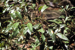Notelaea - N. longifolia