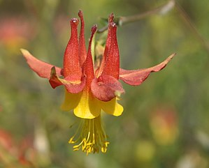 Aquilegia at Nez Perce National Historic Trail.