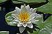 Nymphaea 'Virginalis' Flower.JPG