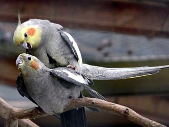Cockatiel (aviculture) - Mating in an aviary