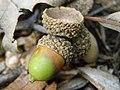 Oak Acorn P8190045.jpg