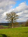 Oak Tree near Pestolozzi - geograph.org.uk - 344495.jpg