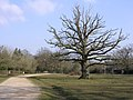 Oak on the green, Bartley, New Forest - geograph.org.uk - 138753.jpg