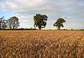 Oaks growing on a field boundary - geograph.org.uk - 1566963.jpg
