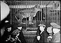 Observing a caged lion (6210593307).jpg