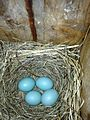 Occurrence-of-twin-embryos-in-the-eastern-bluebird-peerj-02-273-g001.jpg