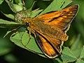 Ochlodes sylvanus - Large skipper - Толстоголовка лесная (39192238820).jpg