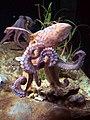 Octopus vulgaris BCN 0219 Mustekala C.JPG
