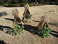 Odd Japanese gardening (3193999945).jpg