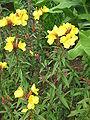 Oenothera tetragona01.jpg