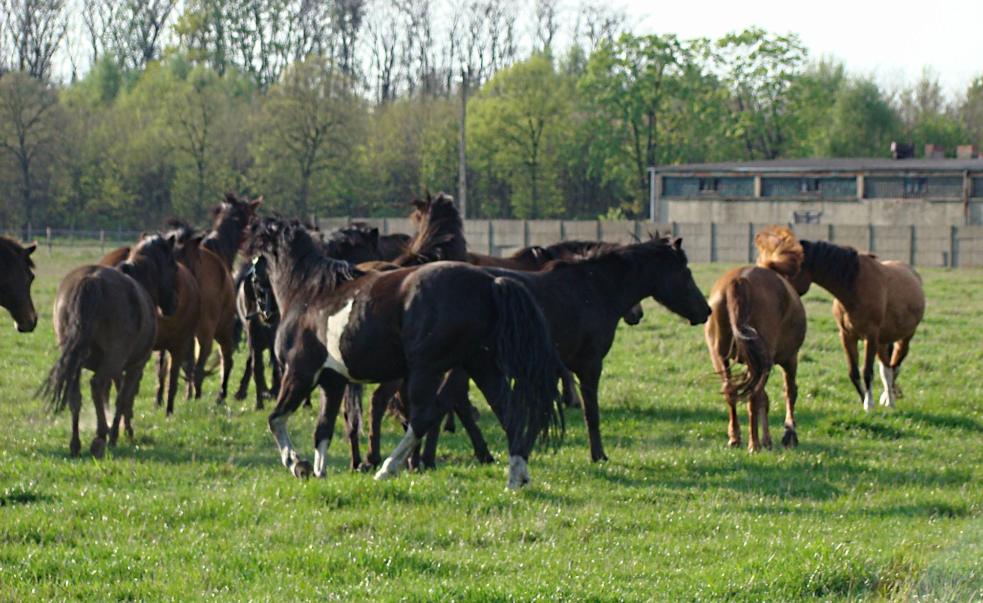 Hucul Pony - Horse Scanner