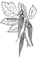 Okra (PSF).png