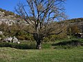 Old-tree-Gortalovo.jpg